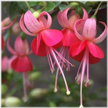Fuchsia Pink Campanella