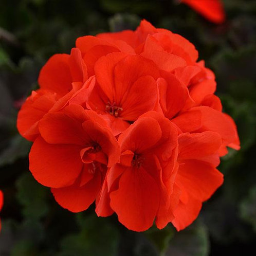 Zonal Geranium - Ronja (Orange Red)