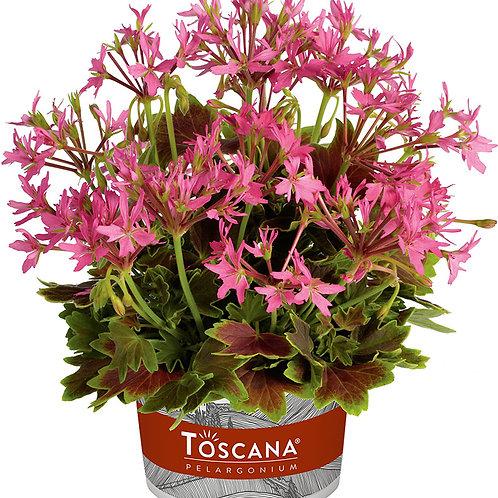 Variegated Geranium - Lotusland