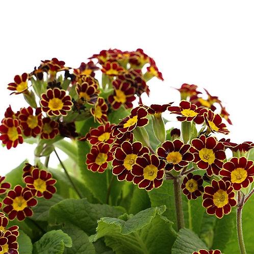 Super 6 Polyanthus Victoriana Gold Lace