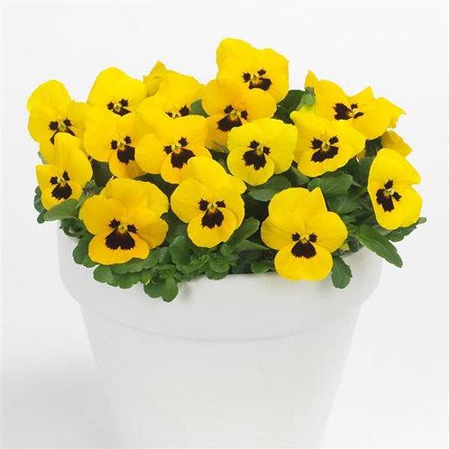 Viola F1 Yellow Blotch