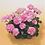 Thumbnail: Zonal Geranium 9cm Pot LUCKY DIP
