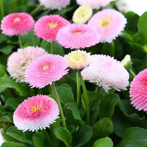 Bellis Pomponette Rose