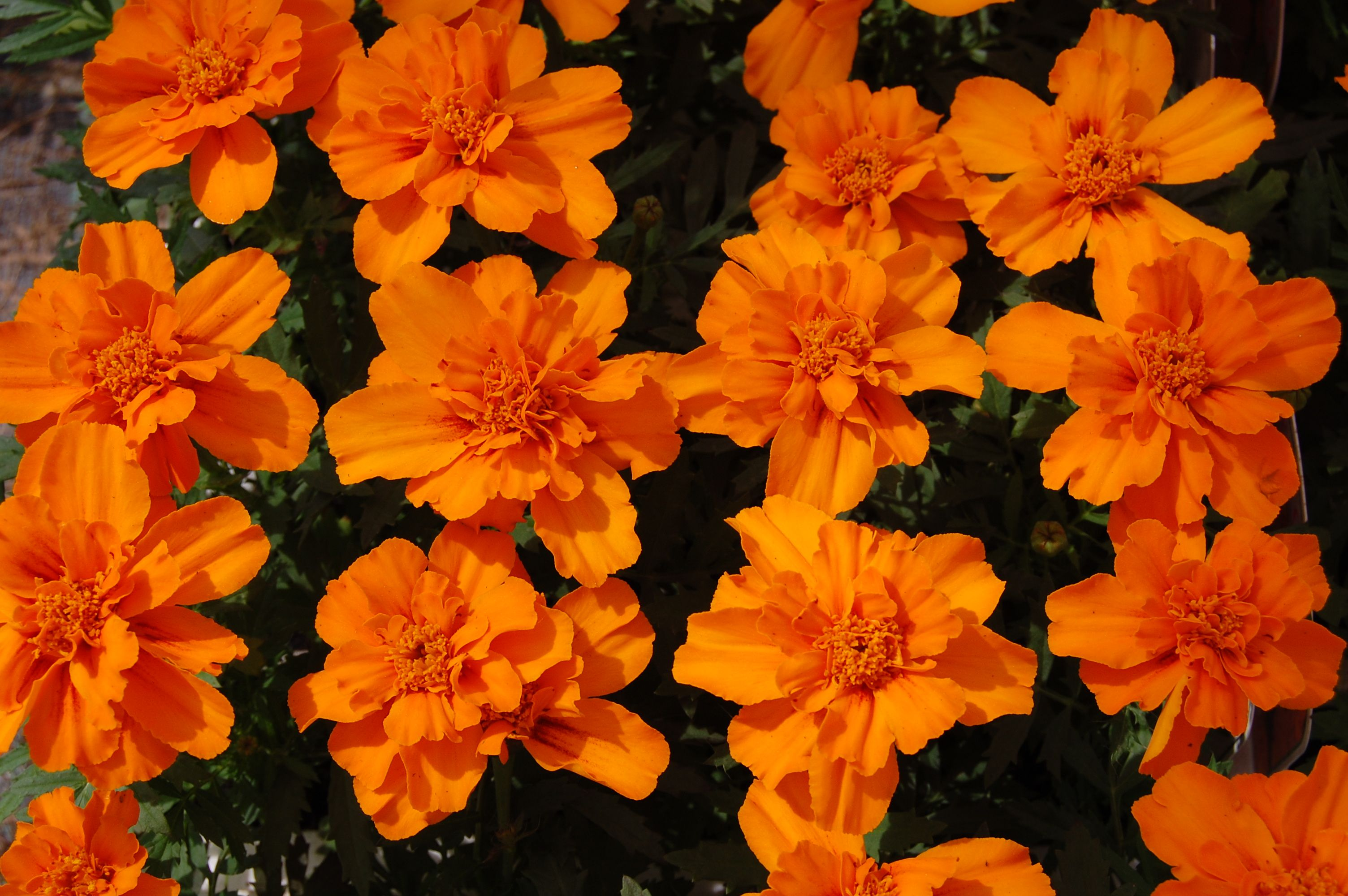 Marigold tangerine