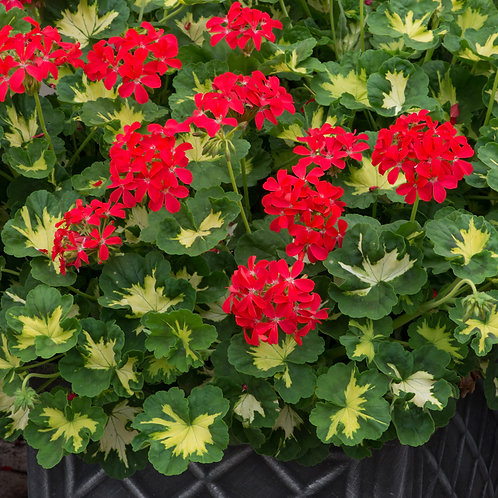 Variegated Geranium - Happy Thought Red