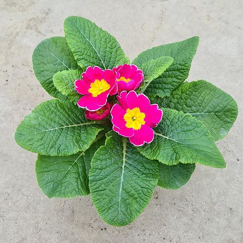 Primrose Rose