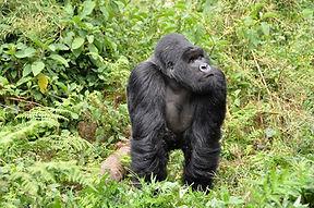 gorillas-474728_960_720.jpg