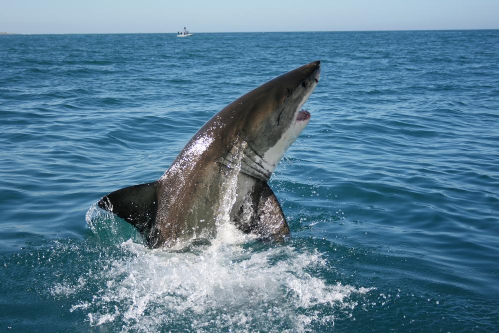 SHARK 5BB