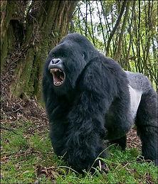 gorila1.jpg