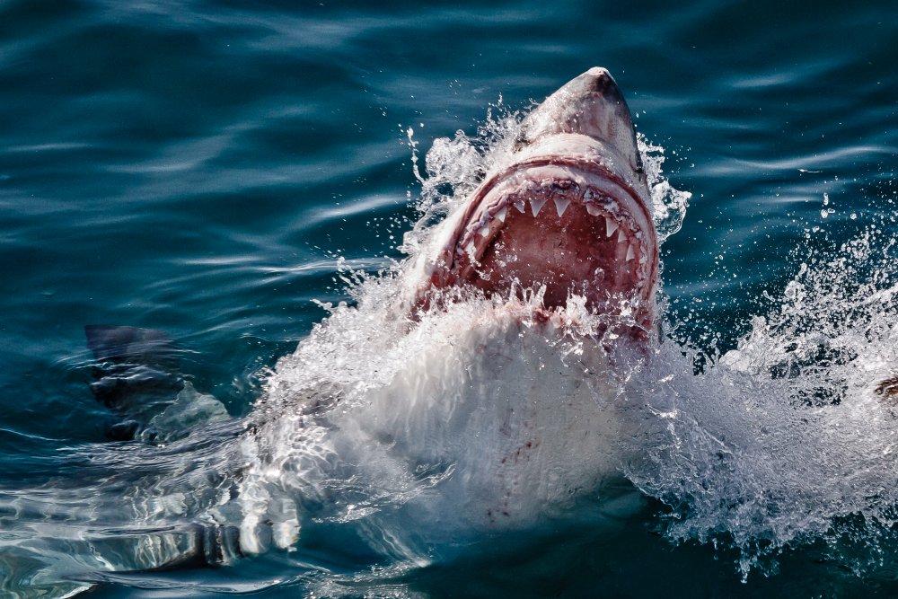 SHARK 24