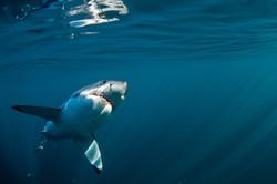 SHARK 8