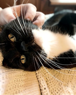 An image of a black and white tuxedo adult cat. The cat is laying on her side and facing the camera. A person is scratching the cat's chin.