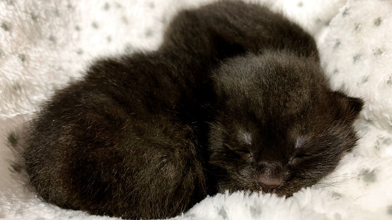Image of a newborn kitten. He is all-black, lying on a white blanket. His eyes are closed.