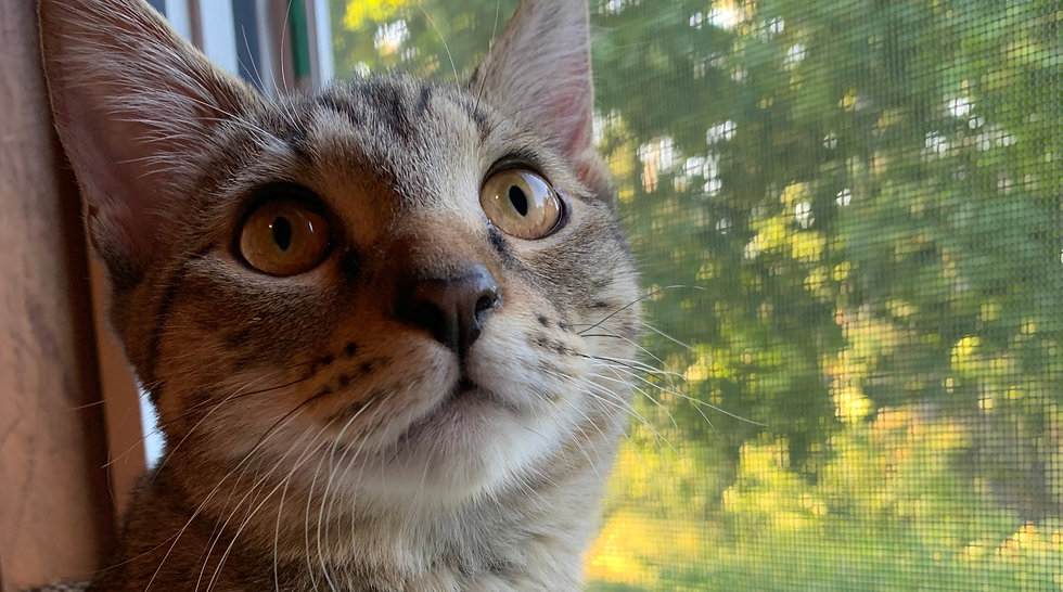 Image of a light grey tabby kitten with yellow eyes. She is sitting in a window and looking at the camera.
