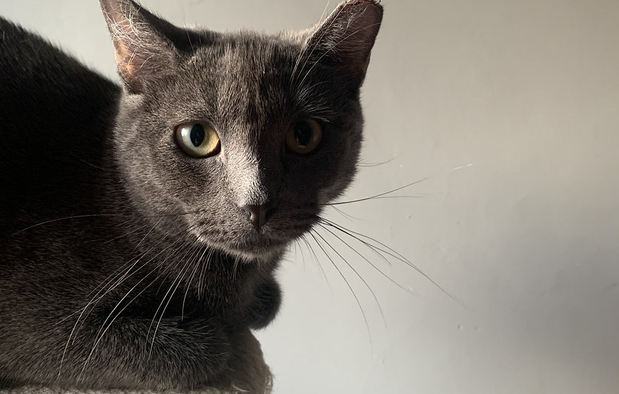 An image of an all-grey kitten looking straight at the camera.