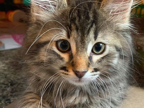 Image of a brown tabby kitten with green eyes. Her fur is long and fluffy, and she has an orange spot on her nose. She is laying on the floor looking into the camera.