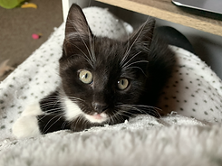 Image of a black and white tuxedo kitten. The kitten is laying on a person's lap and looking straight at the camera.