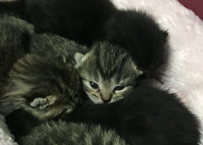 Image of four 2-week-old kittens. One kitten has their eyes open and is gazing towards the camera.