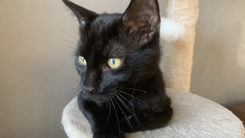 An image of an all-black kitten with yellow eyes. He is laying on a platform facing the camera, looking to the left.