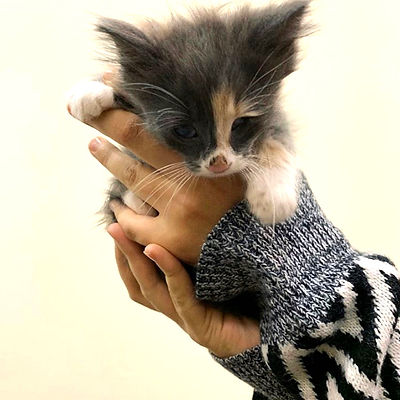 Close-up photo of long-haired calico kitten being held