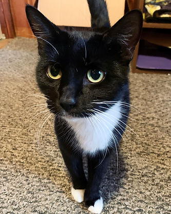 Image of a black and white tuxedo adult cat with yellow eyes. She is standing, facing the camera with one paw raised slightly off the floor.