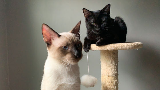 An image of two kittens. On the left, a Siamese kitten with cream colored fur and a brown face with blue eyes, facing the camera sitting up. On the right, an all-black kitten with yellow eyes laying down on a platform, looking into the camera.