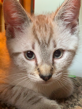 Image of a cream-colored kitten with brown tabby markings and blue eyes, looking at the camera.