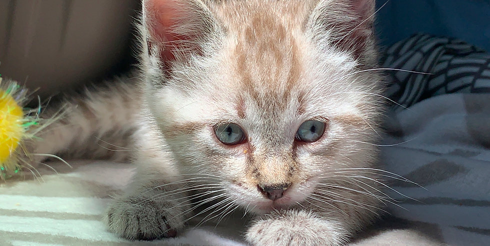 Close-up photo of white and buff tabby kitten