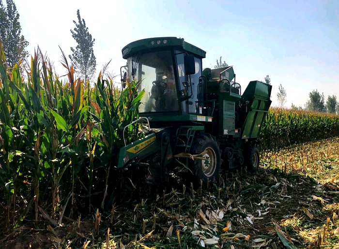 Corn Harvest - The Chinese Way