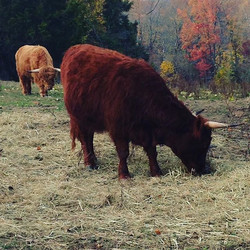 Our highlands blend in with the leaves this time of year. That's Red (Mary) in the foreground and Br