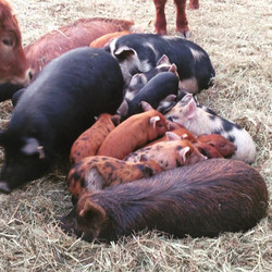 Cold day today! The piglets are snuggling up together for warmth