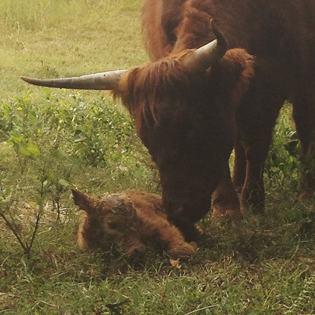 Our first highland calf was born today! #calvesofinstagram #highlandcattle