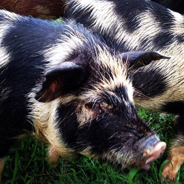 Kune-kune and ossobaw cross piglets born in February
