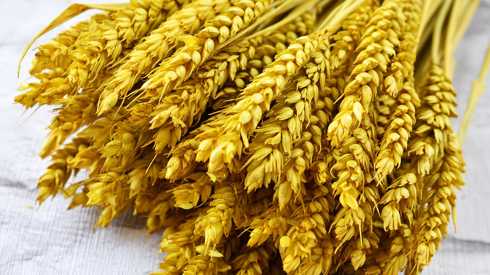 Yellow Dried Wheat | Dried Flowers | Dried Flower Bar UK