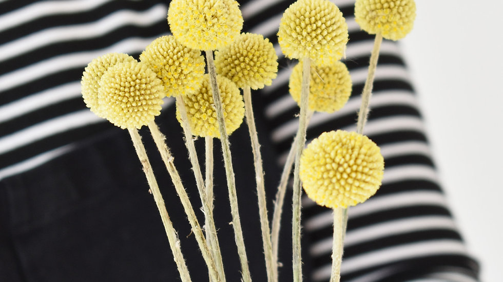 Dried Craspedia | Billy Buttons | Dried Flowers