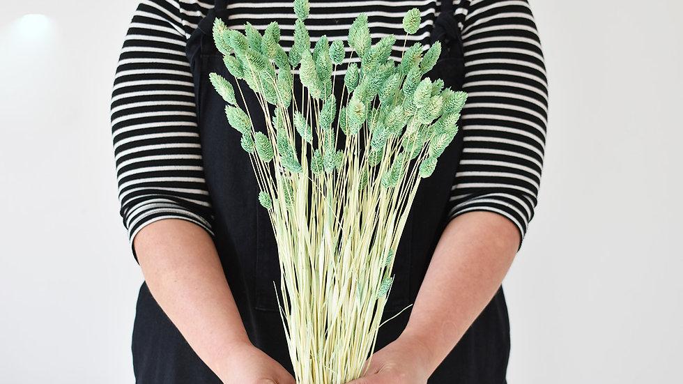 Pastel Green Phalaris