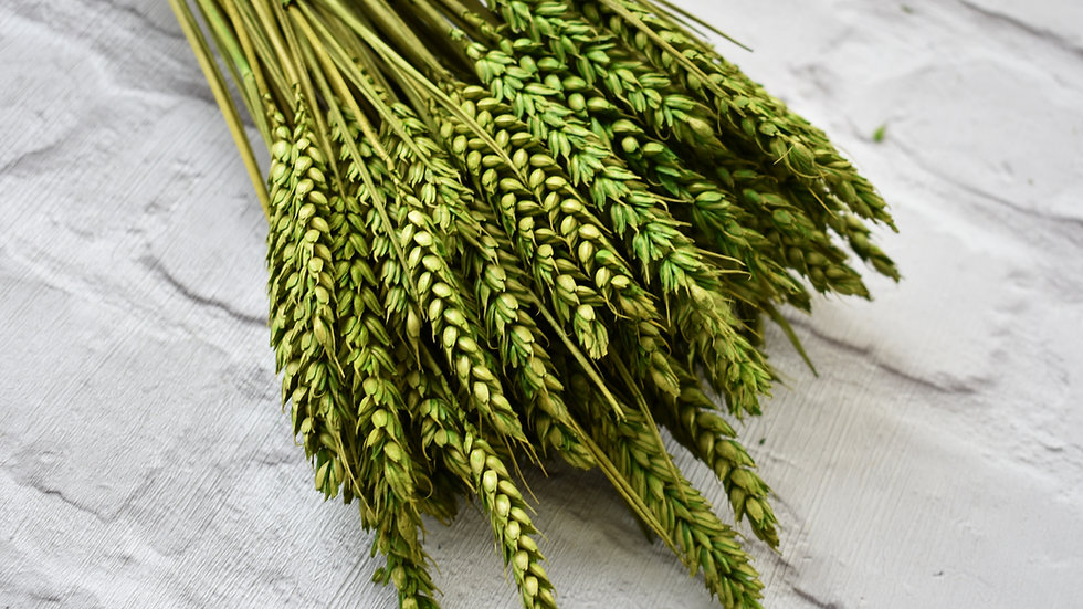 Green Dried Wheat | Dried Flowers | Dried Flower Bar UK