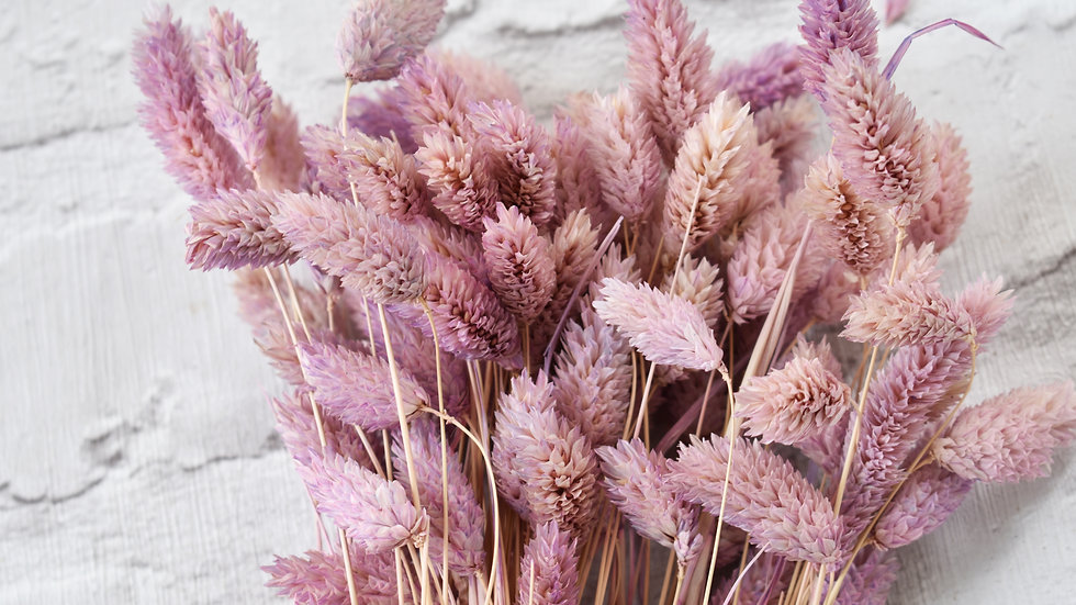 Lilac dried phalaris bunch | Dried Flowers | Dried Flower Bar UK