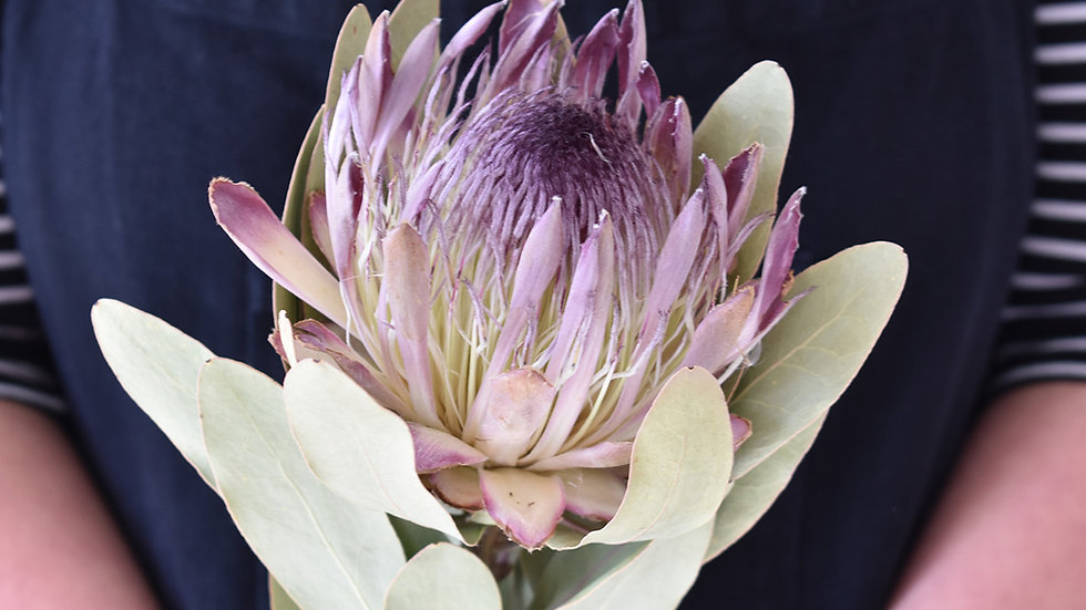 Pink Protea | Dried Flowers | Dried Flower Bar