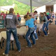 sheep show.jpg