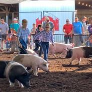 swine show.jpg