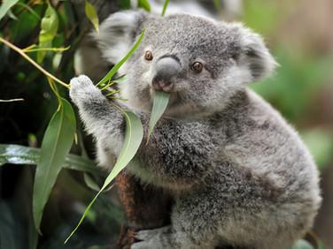 Draft SEQ Koala Conservation Strategy 2019 - 2024