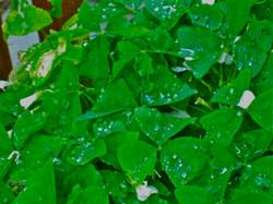 Raindrops On Shamrocks