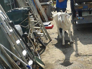 The Guard Goat at the Yard