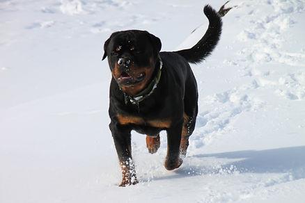 Rottweiler a vsitwolfden.com