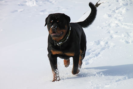 Rottweiler family dog visitwolfden.com