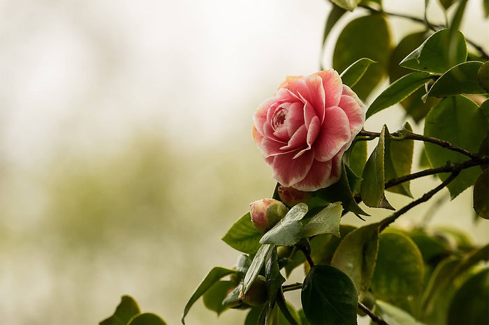 camellia-2520274_1920.jpg