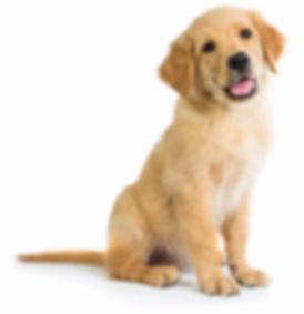 Best puppy training in Wheaton, IL