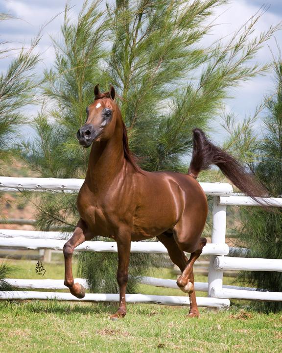 Strydom Arabian Stud horse 2