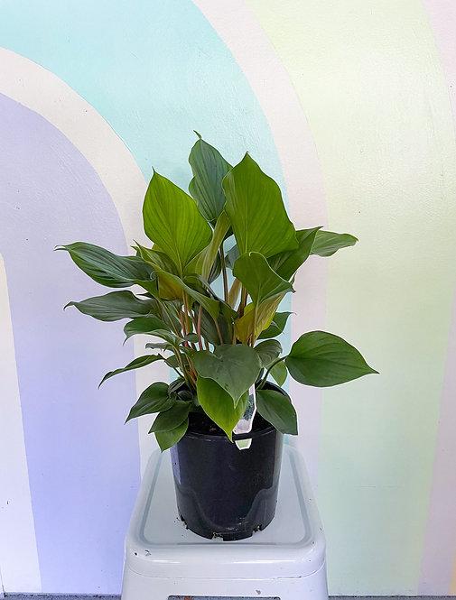 Homalomena Emerald Green